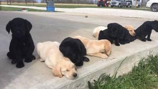 Labrador Retriever Puppy For Sale in BENTONVILLE, AR, USA