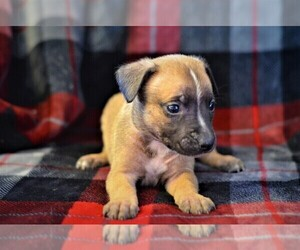 American Pit Bull Terrier-Belgian Malinois Mix Puppy for Sale in NIXA, Missouri USA