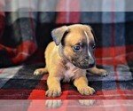 Puppy 1 American Pit Bull Terrier-Belgian Malinois Mix