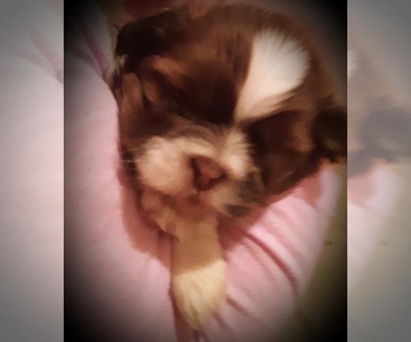 Medium Photo #2 Shih Tzu Puppy For Sale in OTTAWA, OH, USA