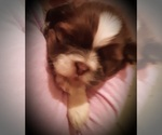 Small Photo #2 Shih Tzu Puppy For Sale in OTTAWA, OH, USA