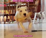 Small Photo #137 Dogo Argentino Puppy For Sale in PINEVILLE, MO, USA
