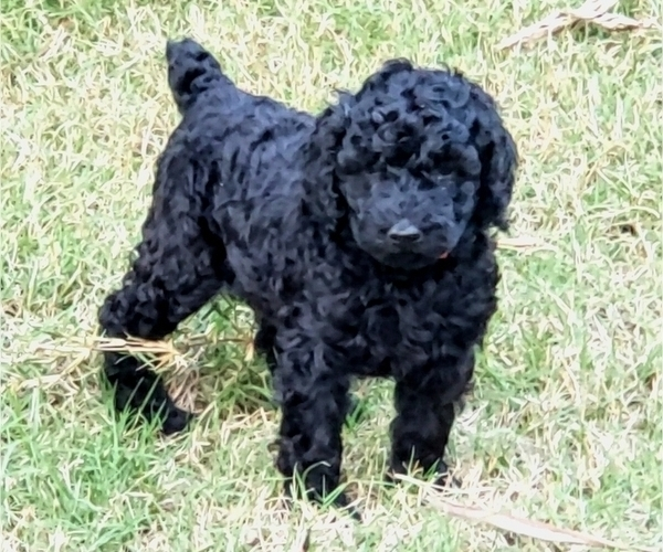 Medium Photo #1 Poodle (Standard) Puppy For Sale in DYERSBURG, TN, USA