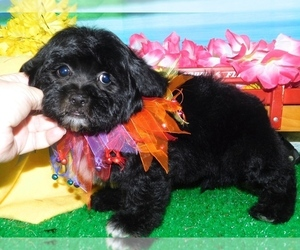 Cantel Puppy for sale in HAMMOND, IN, USA