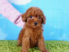 Poodle (Toy) Puppy For Sale in LA MIRADA, CA, USA