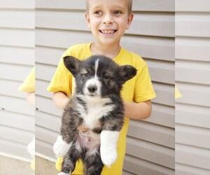 Pembroke Welsh Corgi Puppy for sale in MILTON, WI, USA