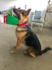 German Shepherd Dog Puppy For Sale in FONTANA, CA