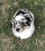 Miniature Australian Shepherd Puppy For Sale in STILLWATER, OK,