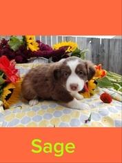 Miniature Australian Shepherd Puppy For Sale in TACOMA, WA, USA