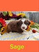 Miniature Australian Shepherd Puppy For Sale in TACOMA, WA, USA