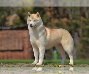 Mother of the Siberian Husky puppies born on 05/01/2021