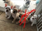 French Bulldog Puppy For Sale in VICTORVILLE, CA, USA