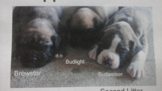 Boxer Puppy For Sale in WOMELSDORF, PA