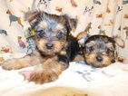 Yorkshire Terrier Puppy For Sale in NEWARK, NJ, USA