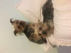 Yorkshire Terrier Dog For Adoption in SAINT LOUIS, MO