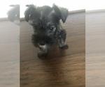 Puppy 3 Schnauzer (Miniature)