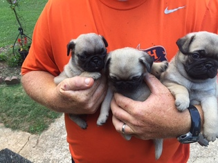 Pug Puppy For Sale in CLARKESVILLE, GA, USA