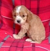 Small #1 Cavalier King Charles Spaniel-Poodle (Toy) Mix