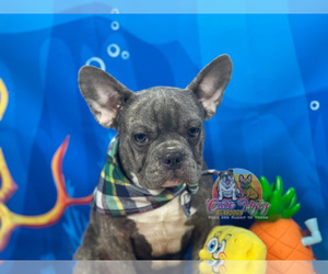 French Bulldog Puppy for sale in POWHATAN, VA, USA