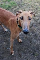 Greyhound Dog For Adoption in Randleman, NC