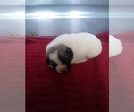 Puppy 4 Anatolian Shepherd-Great Pyrenees Mix