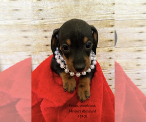 Dachshund Puppy for sale in ACTON, CA, USA