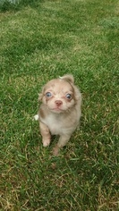 Chihuahua Puppy For Sale in MILWAUKEE, WI, USA