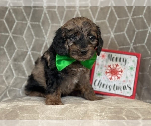 View Ad: Cocker Spaniel-Poodle (Miniature) Mix Puppy for Sale In Poland