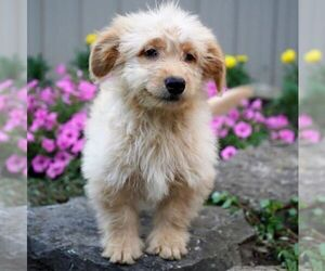 Goldendoodle (Miniature) Puppy for sale in DRY RUN, PA, USA