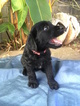 Labradoodle Puppy For Sale in KANEOHE, HI, USA