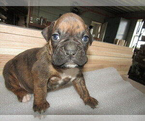 Boxer Puppy for sale in KOKOMO, IN, USA