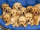 Golden Retriever Puppy For Sale in ALLIANCE, Nebraska,