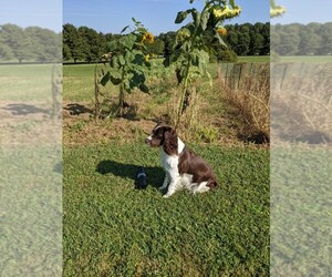 English Springer Spaniel Puppy for sale in MECHANICSVILLE, MD, USA