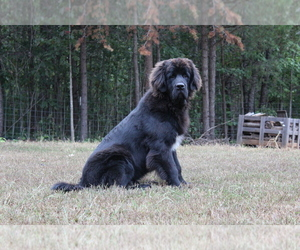 Newfoundland Puppies For Sale Near Waynesboro Virginia Usa