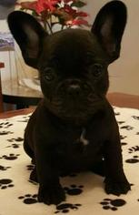French Bulldog Puppy For Sale in LAKE BUTLER, FL