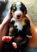 Bernese Mountain Dog Puppy For Sale in MARYSVILLE, OH