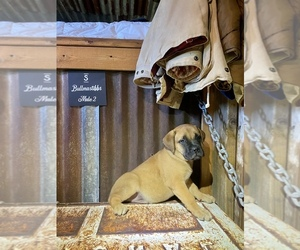 Bullmastiff Puppy for Sale in BELLVIEW, Texas USA