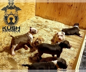 American Bully Puppy for sale in YORK, PA, USA
