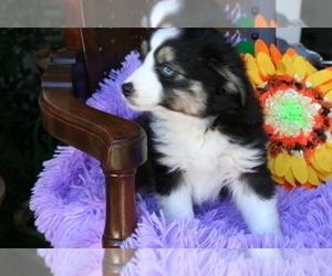 Miniature Australian Shepherd Puppy for Sale in SEQUIM, Washington USA