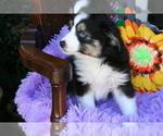 Puppy 0 Miniature Australian Shepherd