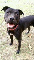 Maddie - American Bulldog / Mixed (short coat) Dog For Adoption