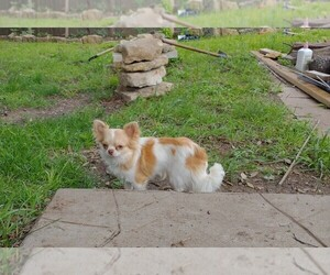Chihuahua Puppy for sale in COPPERAS COVE, TX, USA
