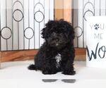 Wendy Female Maltipoo Puppy