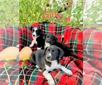 Small Australian Cattle Dog-Border Collie Mix