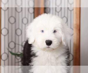 Old English Sheepdog Puppy for sale in NAPLES, FL, USA