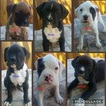 Boxer Puppy For Sale in OROVILLE, California,