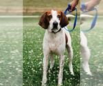 Small #491 English Coonhound Mix