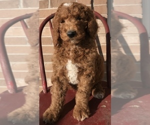 Goldendoodle Puppy for Sale in WOODBURN, Indiana USA