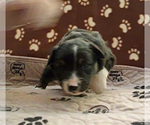 Small #2 Miniature Australian Shepherd