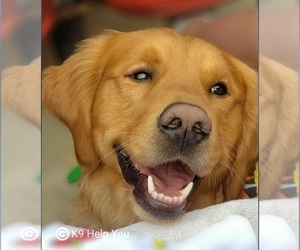 Father of the Golden Retriever puppies born on 08/08/2020